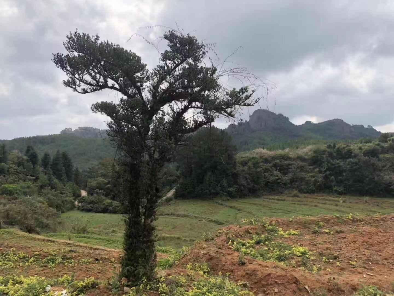 被盗之前的古树。受访者供图