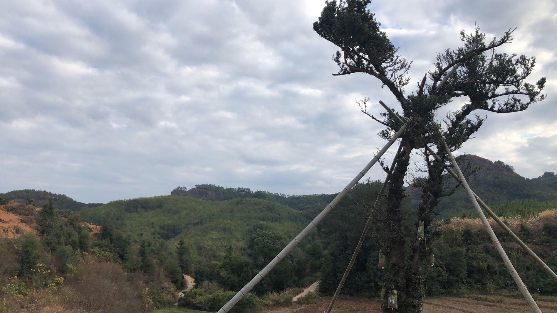 目前古树已运回村里,重新种植回原处。受访者供图