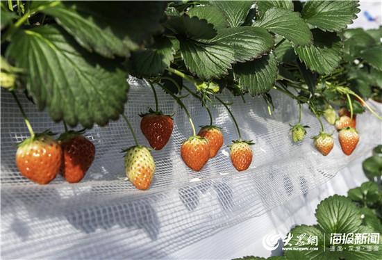 历城区品牌强农丨农家政:生产感动自己的优质草莓