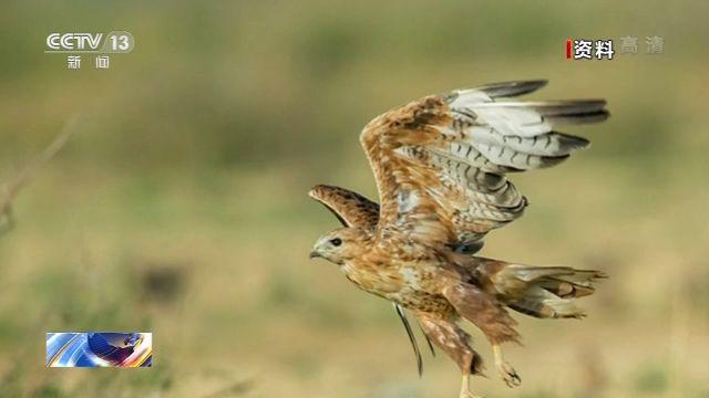 它的名字你会读吗?国家重点保护动物鵟受伤获救重归大自然