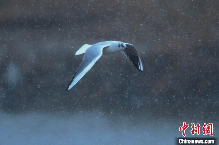 山東青島:2020年首場降雪引候鳥