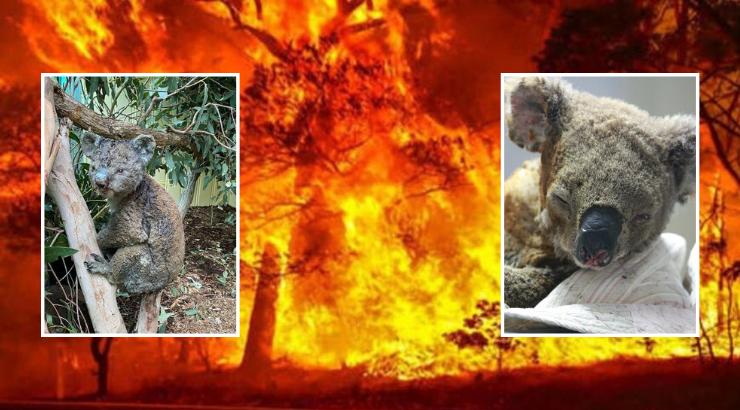 山火致澳大利亚5亿行物惨物化,约2.5万只考拉被烧物化。