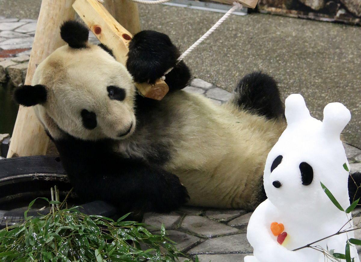 """""""永明""""盯着雪人熊猫(共同社)"""