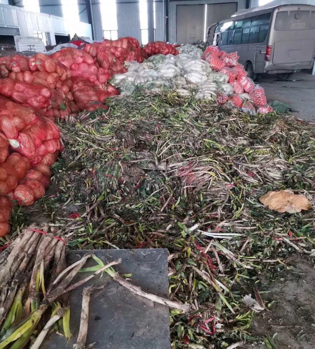 圖片顯示,大蔥堆在地上,已有不同程度腐壞。網絡圖片