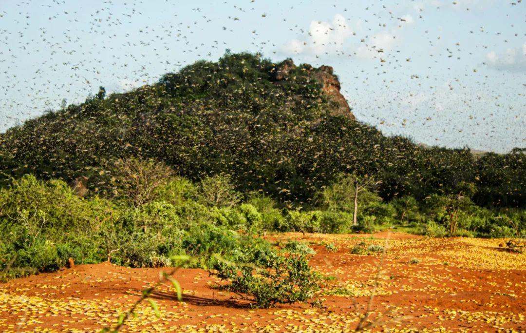 这是2月4日在肯尼亚基图伊,蝗虫在空中飞走。新华社发(弗雷德摄)