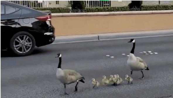 ↑一群鹅正在拉斯维添斯林荫大道上信步。图据美国《快速公司》