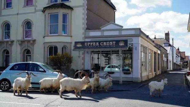 ↑威尔士兰迪德诺小镇,一群山羊正在小镇中央游荡。图据《太阳报》