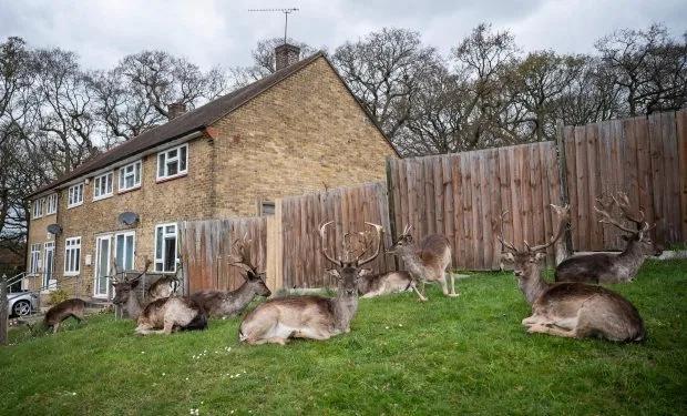 ↑英国埃塞克斯郡,来自附近达格南公园的100只鹿吞没了屋外的草坪。图据《太阳报》