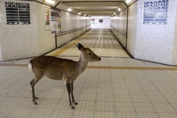 ↑一只梅花鹿闯进了奈良地铁站。图据《太阳报》