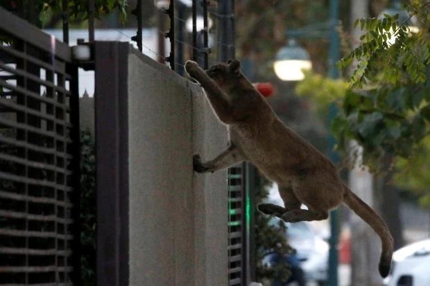 ↑智利圣地亚哥,一头野生美洲小狮在市中央爬墙。图据路透社