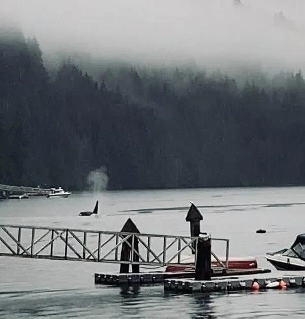↑添拿大的印第安峡湾显现了虎鲸的身影。