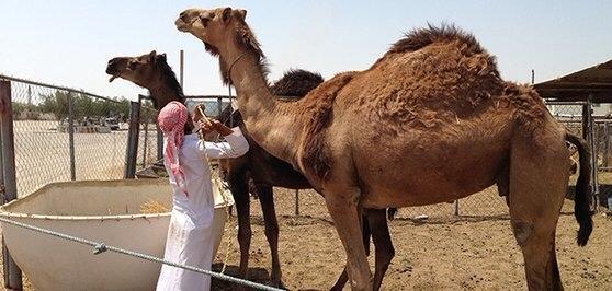 ↑单峰骆驼是中东呼吸综相符征的中间宿主 图据世卫结构