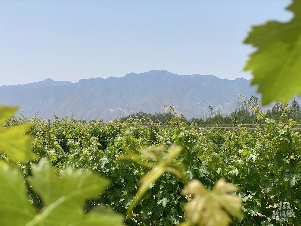 △身处葡萄种植园能清晰望见贺兰山。(总台央视记者彭汉明拍摄)