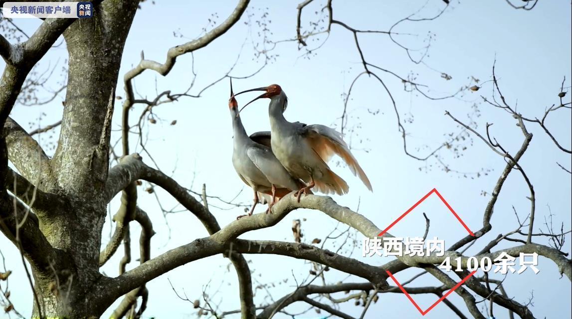 陕西:朱鹮受危等级由极危降为濒危插图