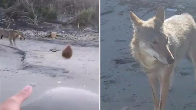 意大利少年在海边偶遇野狼 双方在沙滩上愉快玩耍