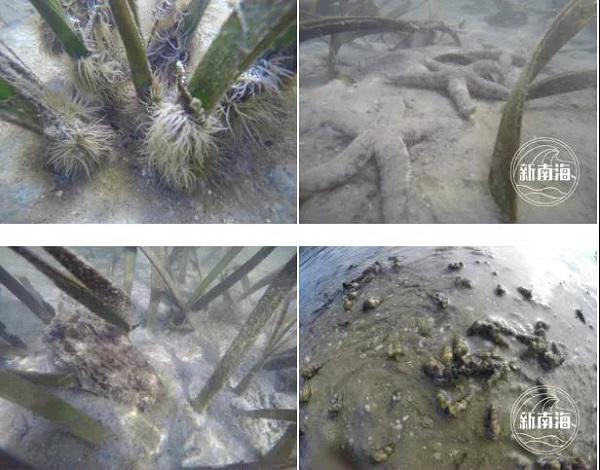 △图为海草床栖息生物