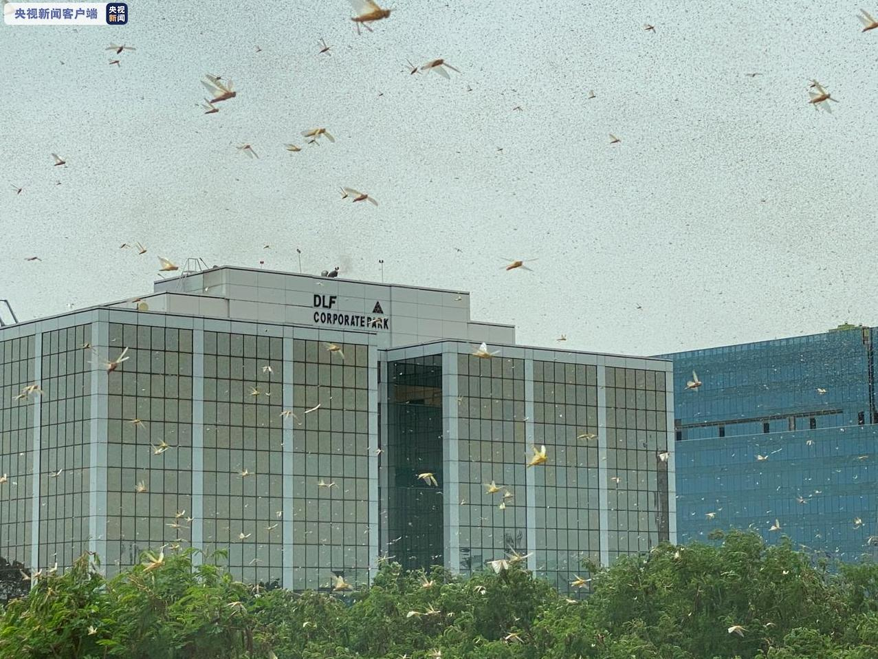 T1期货新闻网:印度首都多地出现大量蝗虫群 政府高度戒备