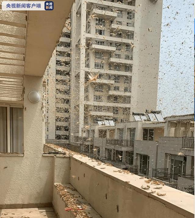 6月27日,沙漠蝗席卷了距新德里仅30公里的古尔冈地区图据央视讯息