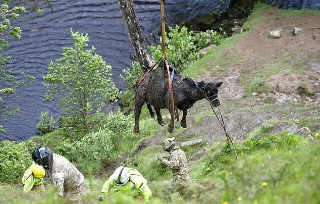 英国皇家空军出动直升机帮助农民救出一头奶牛