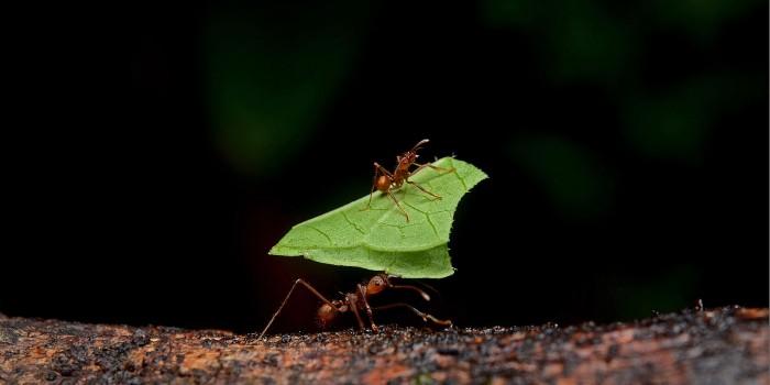 """更环保:""""分子海绵""""或能取代杀虫剂利用气味诱捕蚂蚁"""