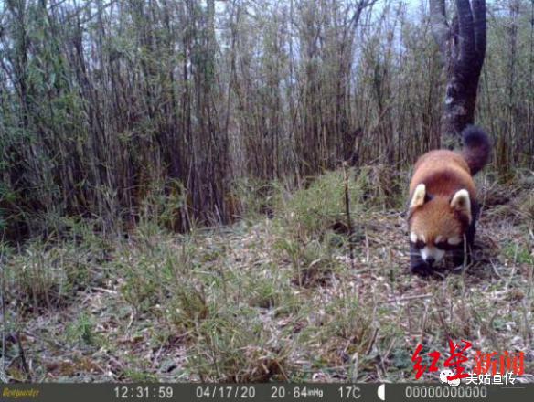 正常毛色的小熊猫