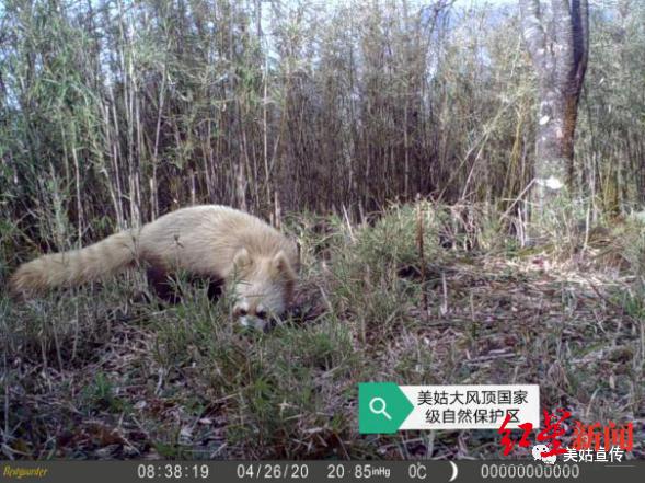 四川发现全球首例白化小熊猫(图)
