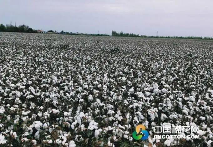 单产或不及预期 机采棉预购价5.4元/公斤