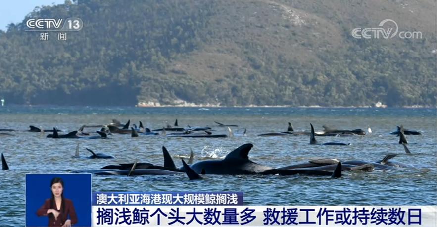 塔斯马尼亚岛附近再次发现200头搁浅的巨头鲸