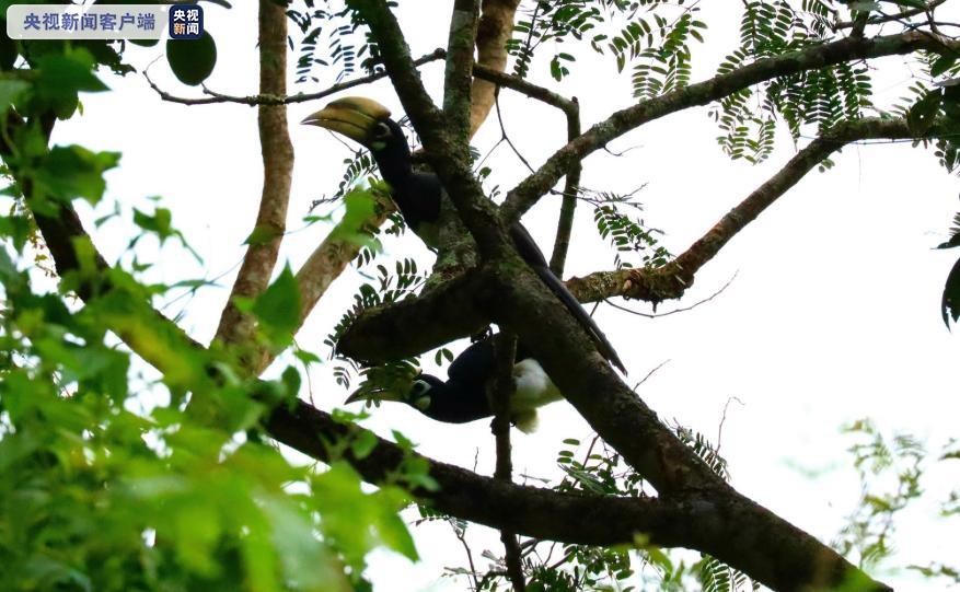 成双成对秀恩爱!云南龙陵首次拍摄到国家一级重点保护野生动物冠斑犀鸟