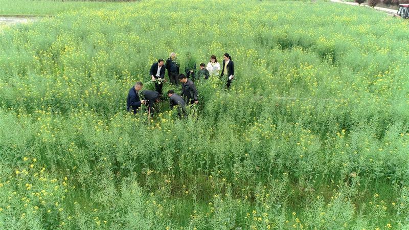 """绿肥亩产3472公斤!""""稻-再-油""""轮作模式受农户青睐"""