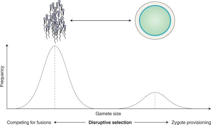研究:只有当精子在雌性体内游动时 它们的进化才会变得更加强大