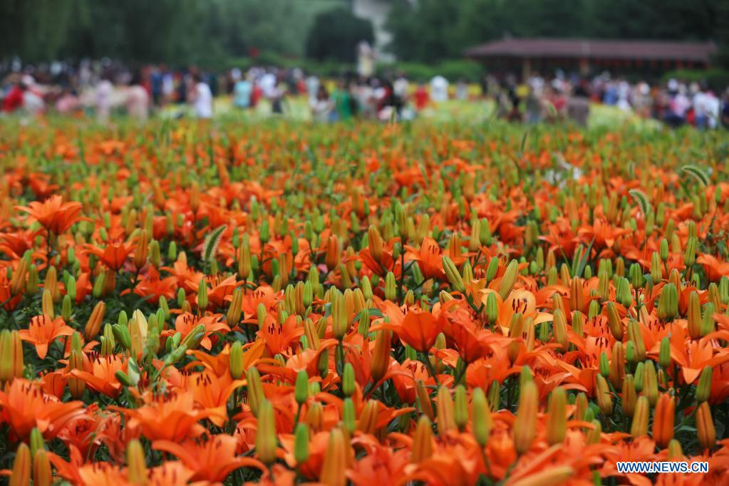 Photo shows lilies at Shenshuiwan Park in Shenyang, northeast China's Liaoning Province, July 6, 2021. (Xinhua/Yang Qing)