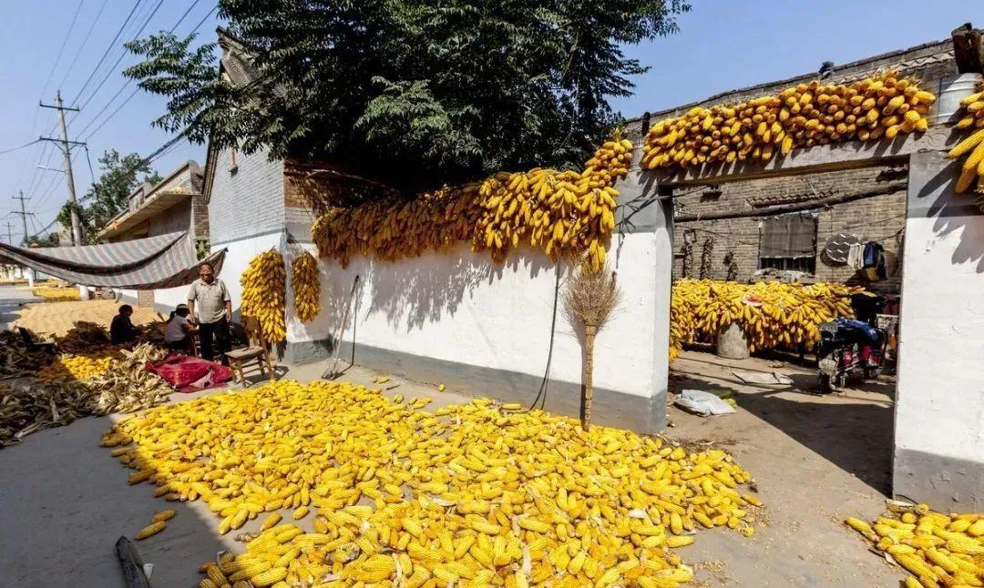 """新粮即将上市,""""高烧""""的玉米市场能降温吗"""