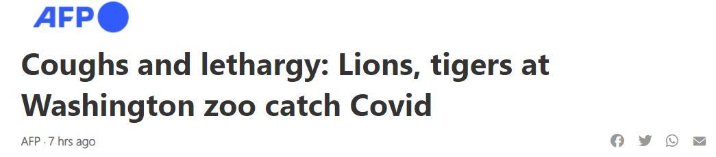 华盛顿动物园6头狮子、3头老虎新冠病毒检测阳性:咳嗽、打喷嚏