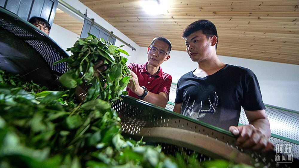 △2021年5月,福建武夷山,当地科技特派员向年轻茶人传授茶青发酵情况辨识方法。(图/视觉中国)