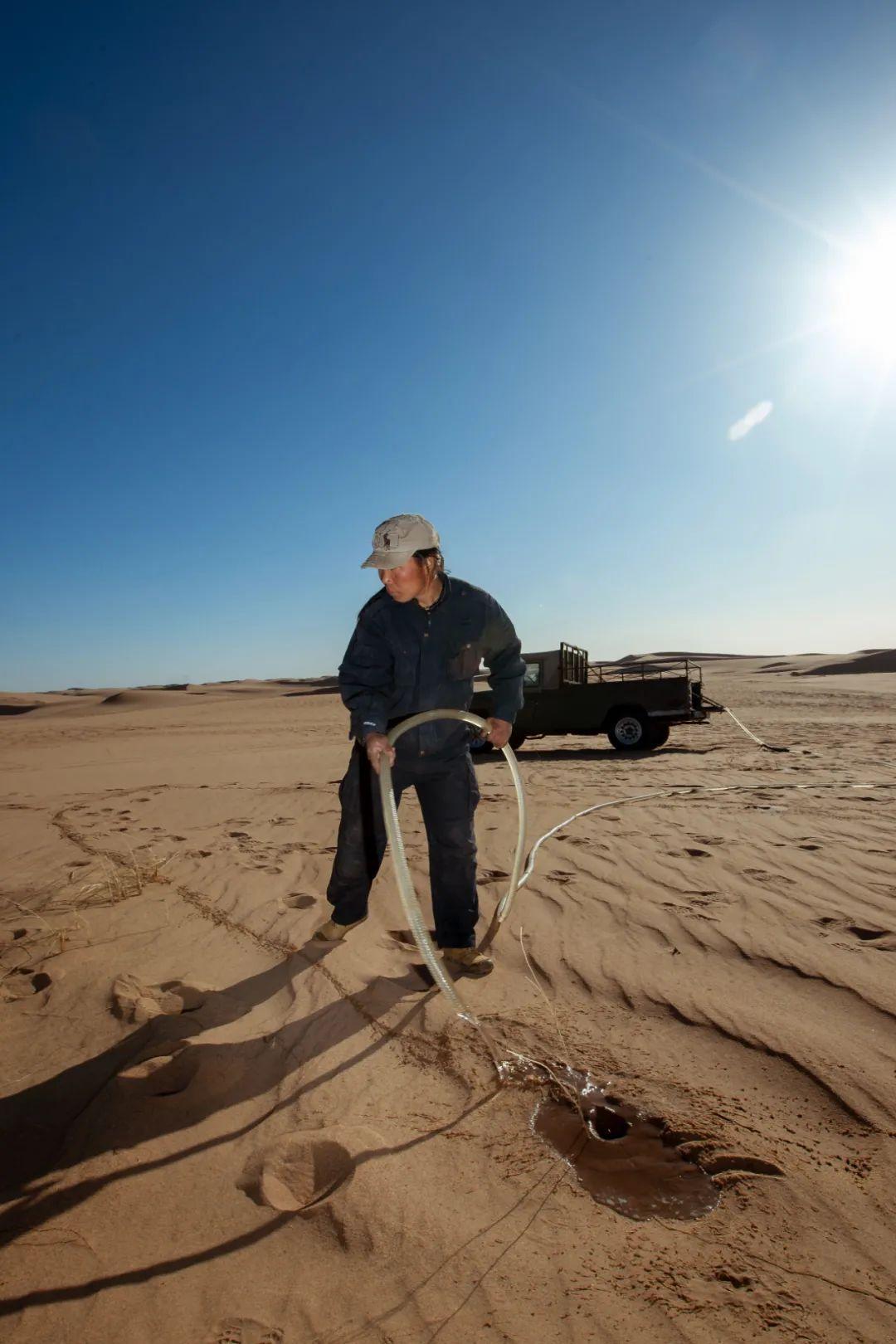 内蒙古当地村民在荒漠区种植梭梭树