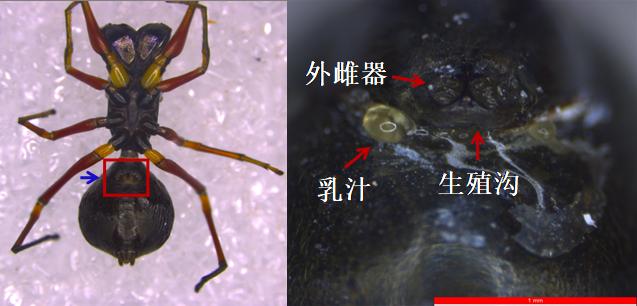 △显微镜下看大蚁蛛