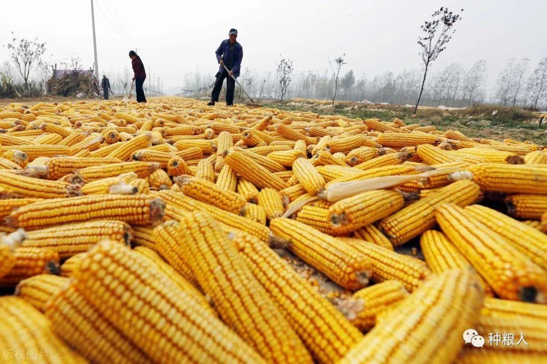 跌势减缓,企稳反弹,玉米价格要上涨了?