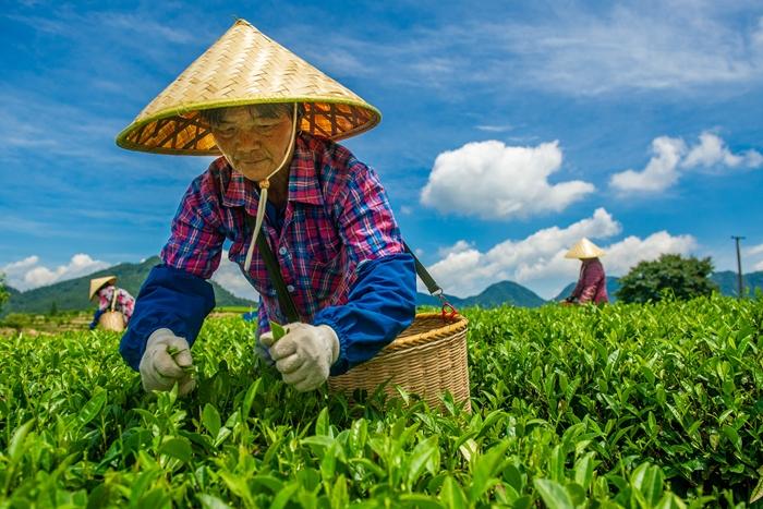 """近年来,永泰县同安镇大力发展茶叶产业园区,加快推进茶产业融合,拓宽就业渠道,不断巩固精准扶贫成果,书写扶贫""""大文章""""。图为在当地茶园里采茶的工人。"""