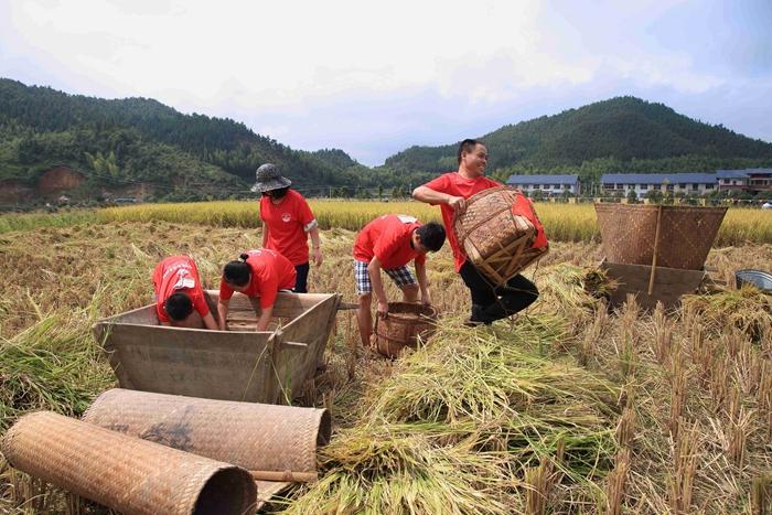 """宁化县把河龙贡米产业作为农业支柱产业来抓,推行""""市场+公司+基地+科技+农户""""的粮食产业化经营模式,促进农户增收。图为游客在河龙乡下伊村体验河龙贡米丰收的喜悦。"""