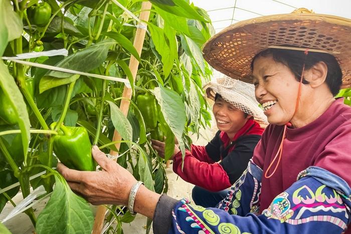 龙海市榜山镇依托当地良好地理和气候条件,大力发展蔬菜种植业,带动群众增收致富。图为当地村民们正在采摘高品质青椒,脸上洋溢着丰收的喜悦。