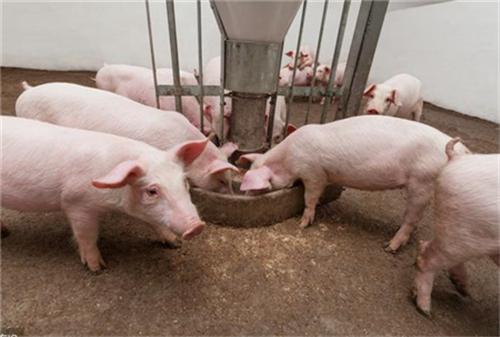 """猪价下跌潮结束,3个因素,猪价要""""强势大涨""""?"""