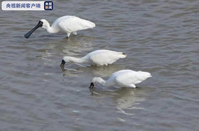 广东惠州首次发现国家二级重点保护动物——黑脸琵鹭