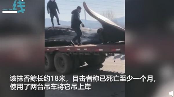 大连渤海海域巨头抹香鲸搁浅 现场曝光:长约18米体重65吨