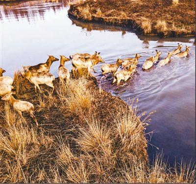 溱湖湿地麋鹿欢