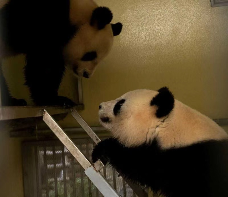 法国博瓦勒动物园盼旅法大熊猫再添新丁