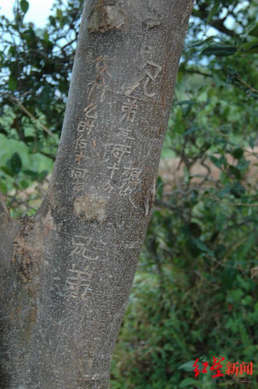 ↑哥哥王凤林在树上刻的字。