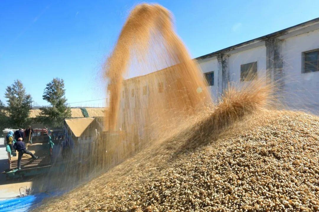 3月迎涨,小麦逼近1.3,粮价底气还很足
