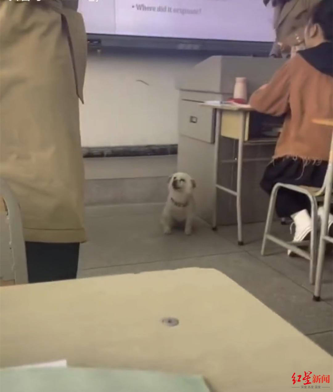 ↑狗狗蹭英語課。