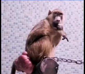 太原动物园黄狒。图/视频截图